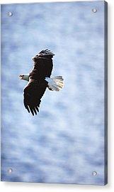 Bald Eagle Haliaeetus Leucocephalus In Acrylic Print by Art Wolfe