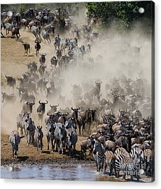 Big Herd Of Wildebeest Is About Mara Acrylic Print