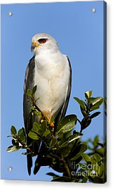 Black-shouldered Kite - Elanus Caeruleus Acrylic Print