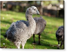 Cape Barren Goose And Geese Acrylic Print
