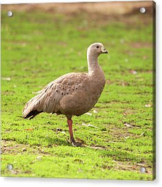 Acrylic Print featuring the photograph Cape Barren Goose Out In Nature by Rob D