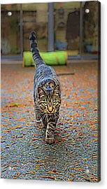 Cat On The Prowl Acrylic Print