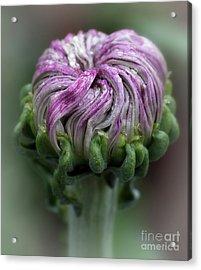 Acrylic Print featuring the photograph Chrysanthemum 'lili Gallon' by Ann Jacobson