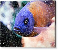 Colored Pencil Red Fin Borleyi Cichlid Acrylic Print
