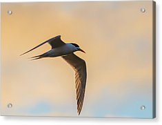 Crested Tern In The Early Morning Light Acrylic Print