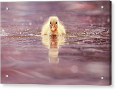 Cute Overload Series - Yellow Duckling II Acrylic Print