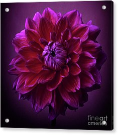Acrylic Print featuring the photograph Dahlia 'purplicious' by Ann Jacobson