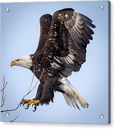 Eagle Coming In For A Landing Acrylic Print
