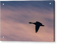 Acrylic Print featuring the photograph Evening Flight by Allin Sorenson