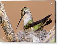 Female Anna's Hummingbird On Nest Acrylic Print by Adam Jones