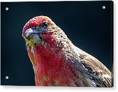 Acrylic Print featuring the photograph Finch by Allin Sorenson