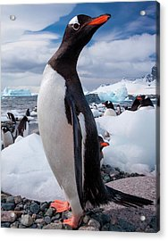 Gentoo Penguins, Antarctica Acrylic Print by Mint Images/ Art Wolfe