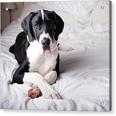 Great Dane On A Bed Acrylic Print by Claire Plumridge