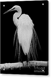 Acrylic Print featuring the digital art Great Egret In Full Bloom I - R by Kenneth Montgomery