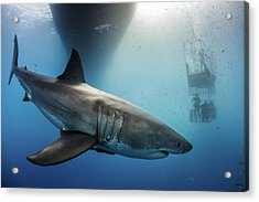 Great White Shark Acrylic Print