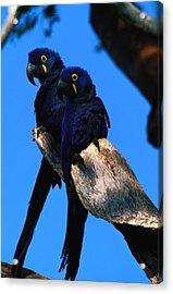 Hyacinth Macaws Anodorhynchus Acrylic Print by Art Wolfe