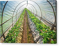Hydroponic Vegetable In A Garden Acrylic Print by Primeimages