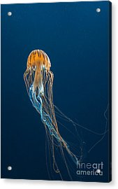 Jellyfish Acrylic Print by Ileysen