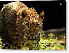 Leopard Acrylic Print by Somak Pal
