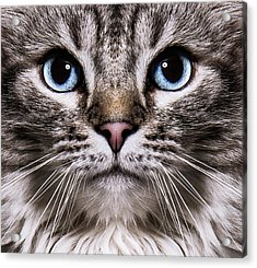 Neva Masquerade Cat In The Studio Acrylic Print by Kevin Vandenberghe
