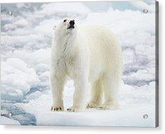 Polar Bear Acrylic Print by Kencanning