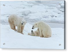 Polar Bears In The Wild. A Powerful Acrylic Print by Mint Images - David Schultz