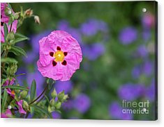 Acrylic Print featuring the photograph Purple Flowered Rock Rose by Tim Gainey