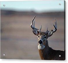 Rocky Mountain Deer Acrylic Print