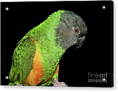Acrylic Print featuring the photograph Senegal Parrot by Debbie Stahre