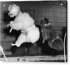 Skipping Poodles Acrylic Print by Ron Case