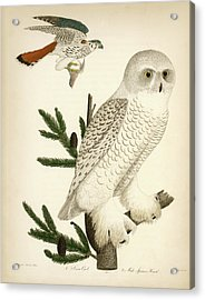 1. Snow Owl. 2. Male Sparrow-hawk. Acrylic Print
