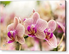 Streaked Orchid Flowers. Beautiful Acrylic Print