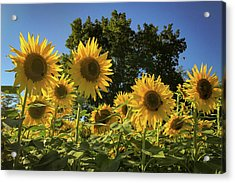 Sunlit Sunflowers Acrylic Print