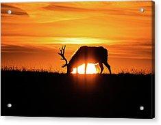 Sunrise Elk Acrylic Print