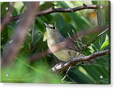 Thick-billed Vireo Acrylic Print