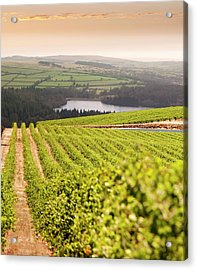 Vineyard At Sunset Acrylic Print by Lockiecurrie