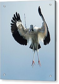 Woodstork Nesting Acrylic Print