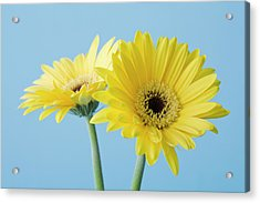 Yellow Flowers On Blue Background Acrylic Print