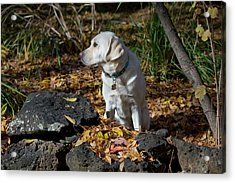 Yellow Labrador Retriever Acrylic Print by William Mullins
