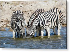 Zebras Lined Up Drinking At Waterhole Acrylic Print by Darrell Gulin