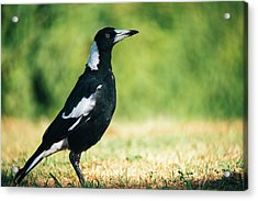 Acrylic Print featuring the photograph Australian Magpie Outdoors by Rob D