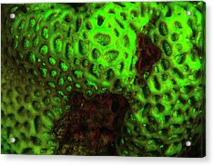 Natural Occurring Fluorescence Acrylic Print by Stuart Westmorland