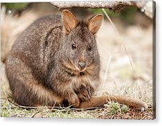Acrylic Print featuring the photograph Australian Bush Wallaby Outside During The Day. by Rob D