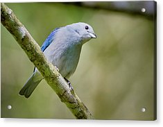 Blue-gray Tanager San Jorge Ibague Colombia Acrylic Print