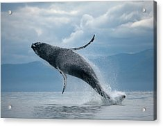Breaching Humpback Whale, Alaska Acrylic Print by Paul Souders