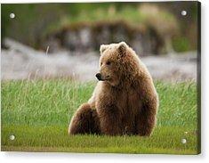 Brown Bear, Katmai National Park Acrylic Print by Mint Images/ Art Wolfe