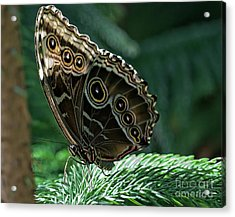 Butterfly Acrylic Print by Elijah Knight
