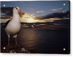 Campbell Albatross Thalassarche Acrylic Print by Tui De Roy/ Minden Pictures