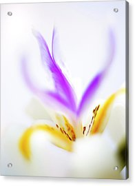 Acrylic Print featuring the photograph White Iris II by John Rodrigues