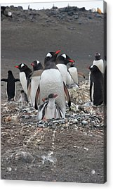 Gentoo Penguin Barrientos Island, South Acrylic Print by Tom Norring